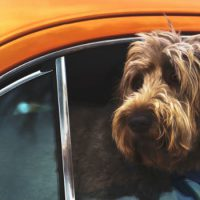 How to drive safely with your dog in the car